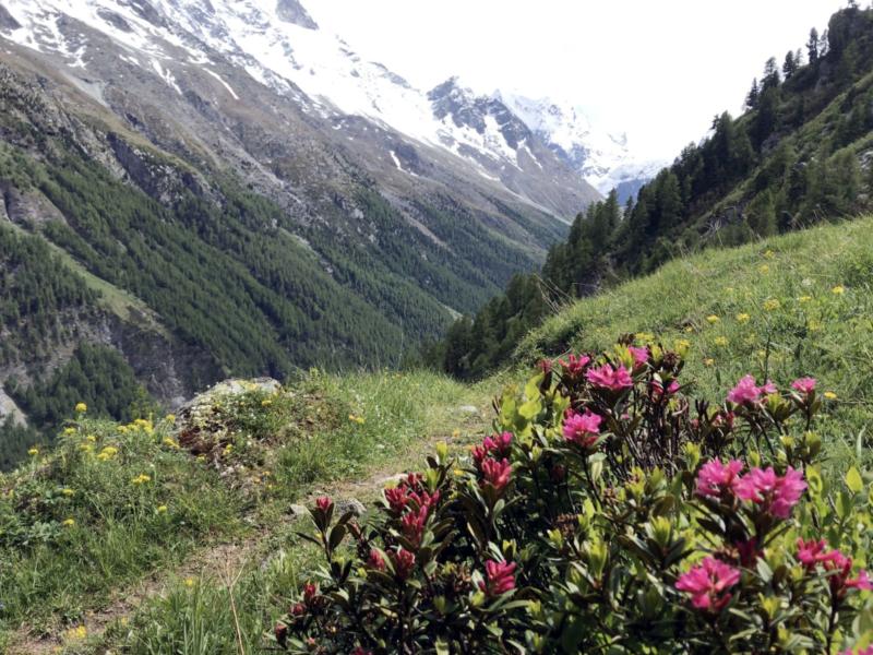 Rhododendron sur le sentier de retour vers La Gouille