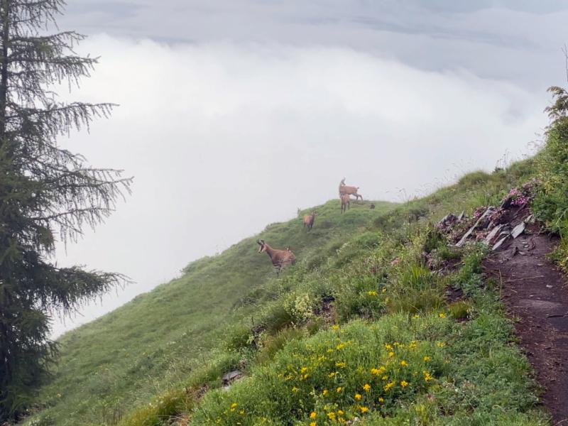 Quelques chamois à proximité de la cabane du Prabé